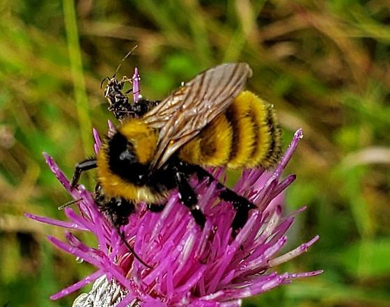 Unknown Bumblebee - Bombus borealis? - Bombus borealis