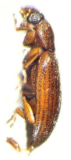 Corticaria ferruginea - male