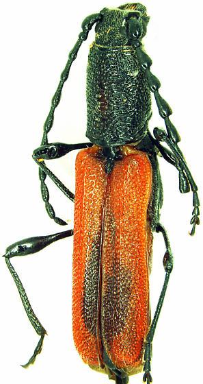 Anchylocera sp. - Ancylocera bicolor - female