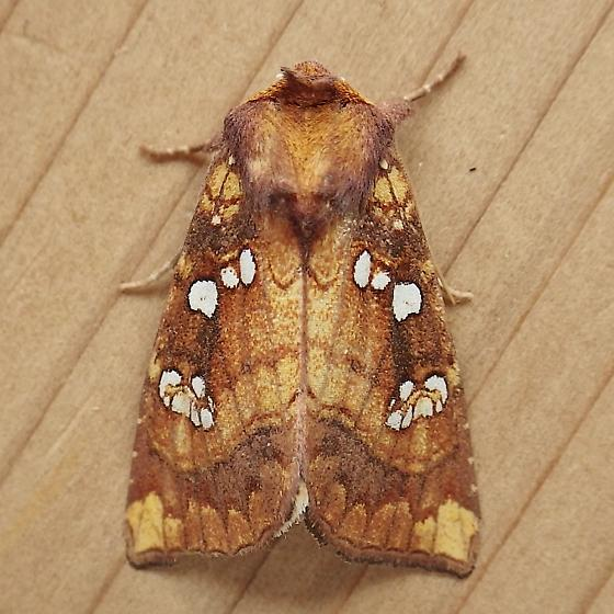 Noctuidae: Papaipema baptisiae - Papaipema baptisiae
