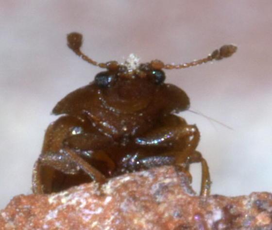 Small brown beetle - Epuraea