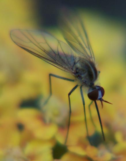 Bee fly ID - Geron