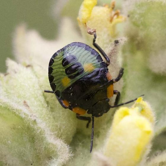 Beetle? No obvious wings - Green, Black, Orange, Yellow - Chinavia hilaris