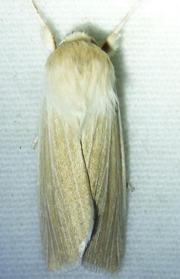 unknown moth - Leucania linita