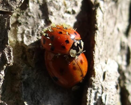 Ladybird Fungus Infection? - Harmonia axyridis - male