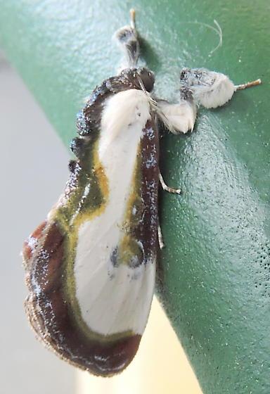 Beautiful Wood-nymph moth - Eudryas grata