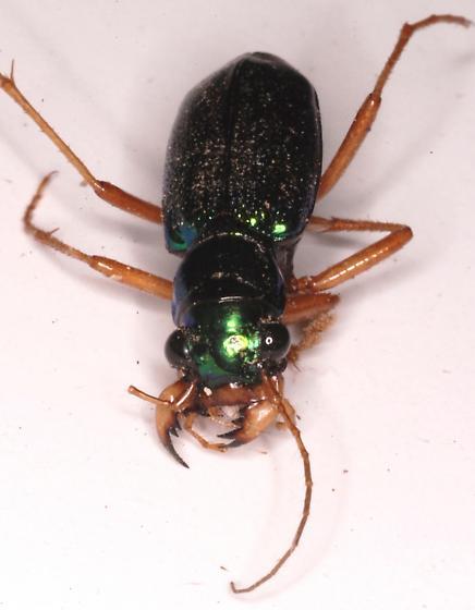 Green metallic beetle - Tetracha virginica
