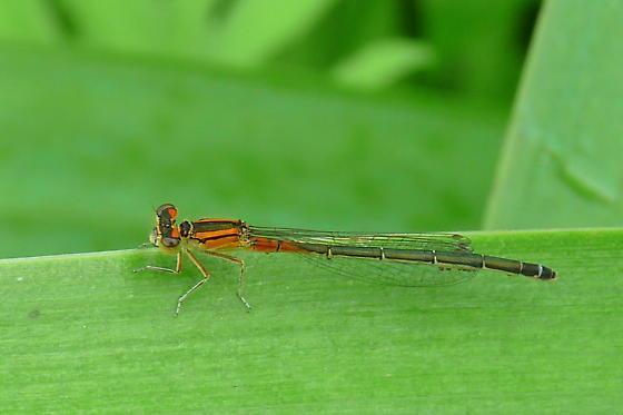 Unknown damselfly - Ischnura verticalis - female