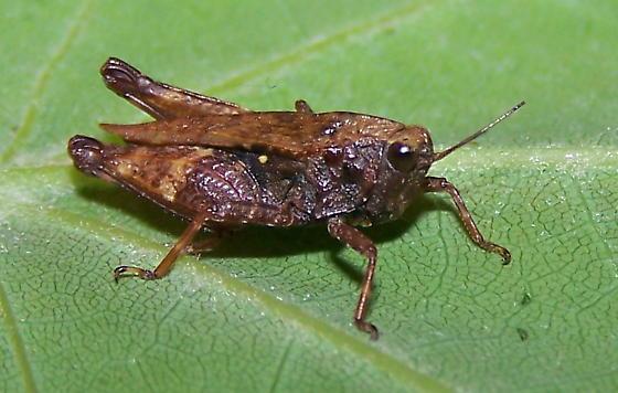 Tettigidea acuta - female