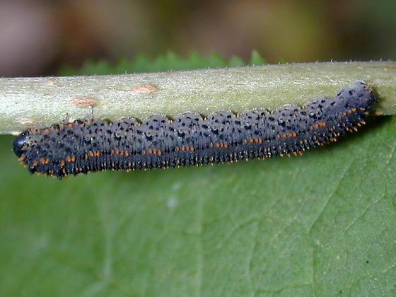symphytan - Lagium atroviolaceum