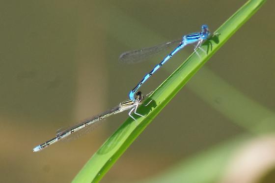 Double-striped Bluets? - Enallagma basidens - male - female