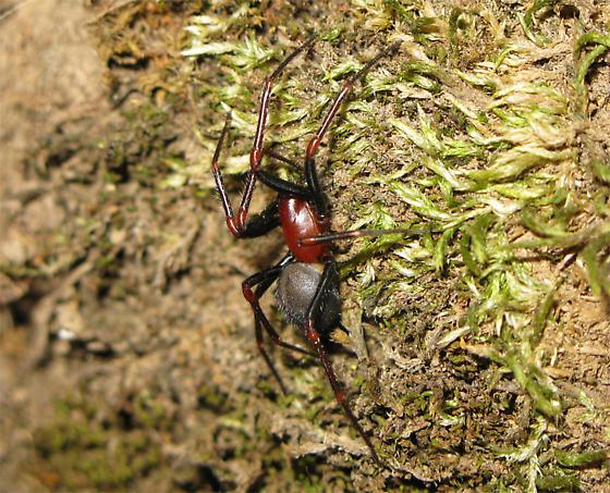 Red and black spider - Kibramoa