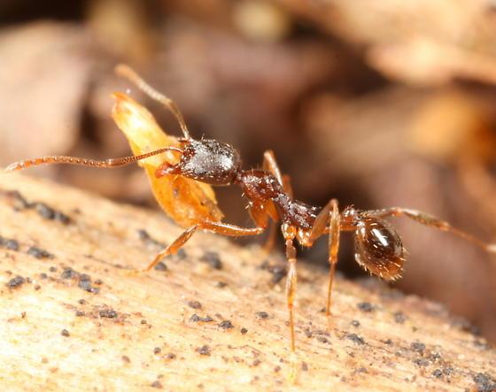 Ant - Aphaenogaster rudis - female