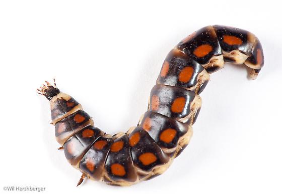 Phengodidae Glowworm female - Phengodes laticollis - female