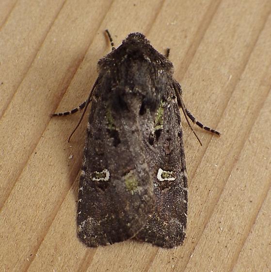 Noctuidae: Lacinipolioa renigera - Lacinipolia renigera