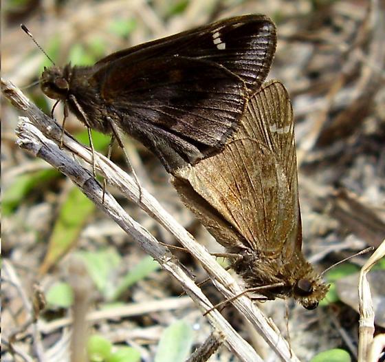 Clouded skipper - Lerema accius - male - female