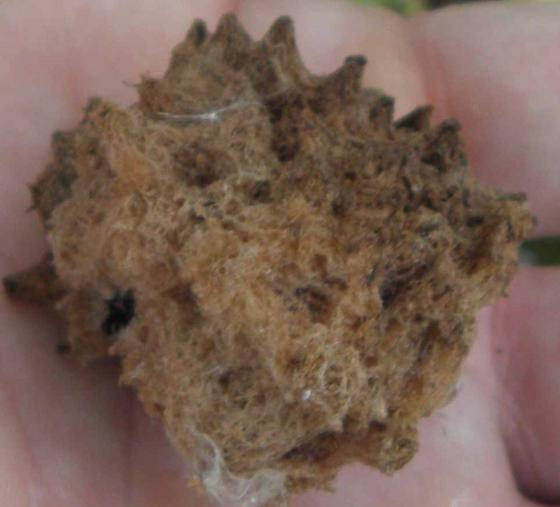 Warty clump on young oak - Callirhytis seminator