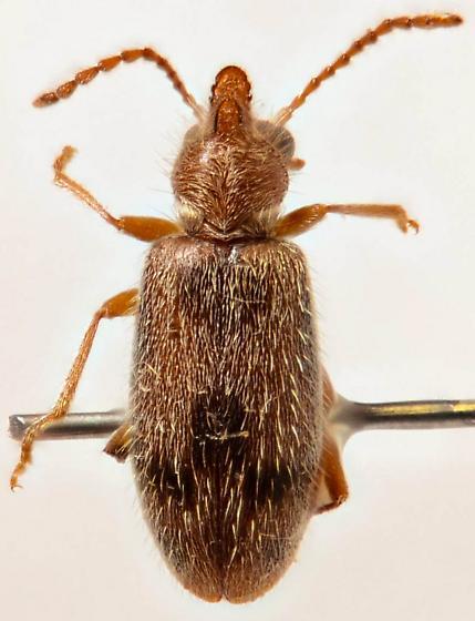 Horned Anthicid - Notoxus desertus