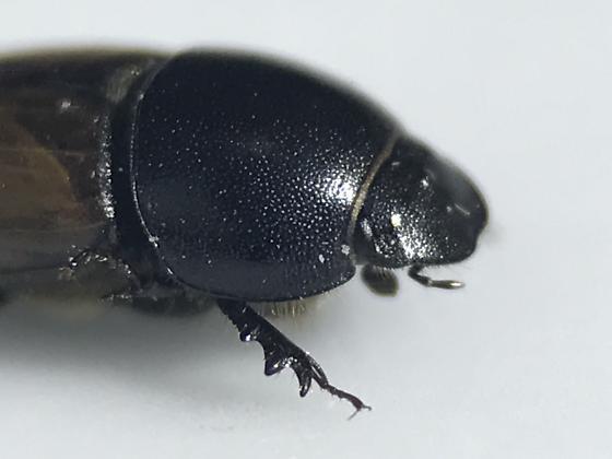 Aphodius - Aphodius erraticus