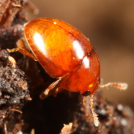 Little red shiny beetle - Stilbus