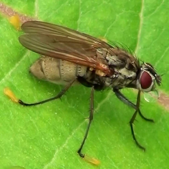 Unknown Fly (with Yellow tarsal socks)