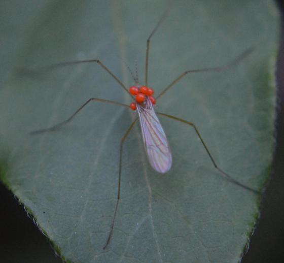 Mites on Crane Fly - Calyptostoma