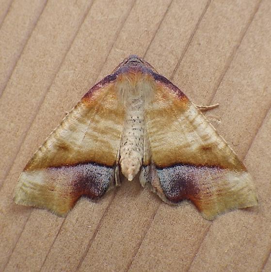 Geometridae: Plagodis phlogosaria - Plagodis phlogosaria - male
