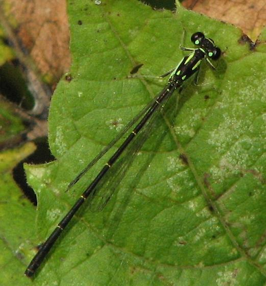 Black and green damselfly - Ischnura posita - male