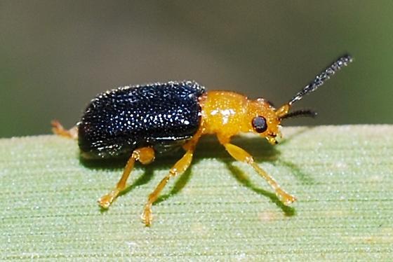 Black beetle with orange head - Zeugophora