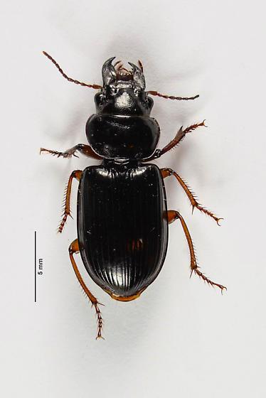 Another big jawed Carabid. - Polpochila - female