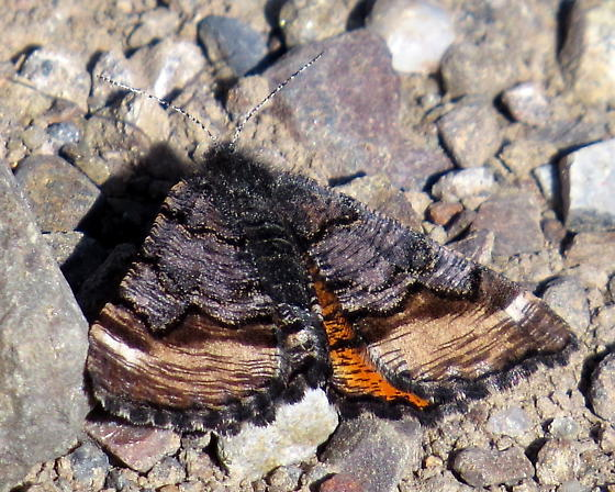 Gray-brown banded moth with orange on hindwings - Dasyfidonia avuncularia - female