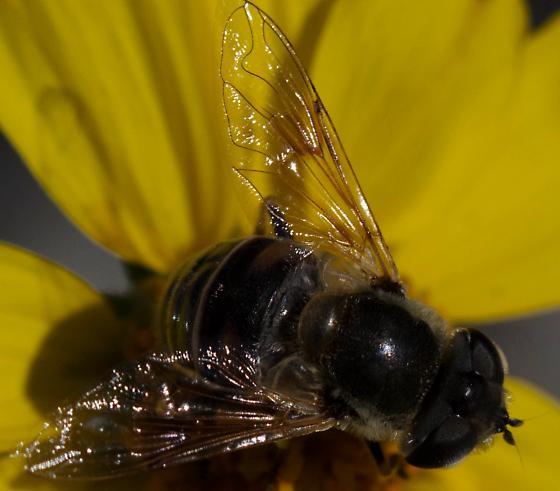 Lovely Fly - Eristalis stipator