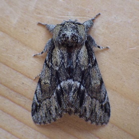 Notodontidae: Hyperaeschra georgica - Hyperaeschra georgica