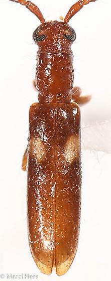 2 spotted Cerambycidae - Heterachthes quadrimaculatus