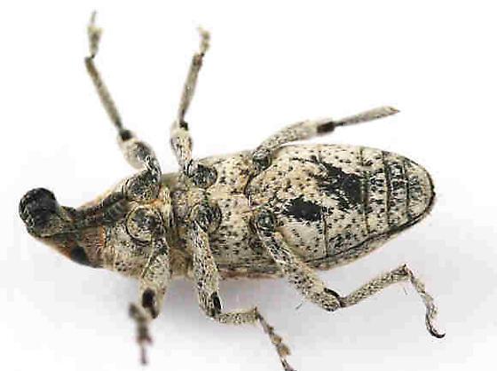weevil - Scaphomorphus canescens