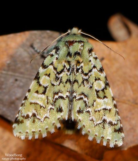 Feralia jocosa – Joker Moth  - Feralia jocosa