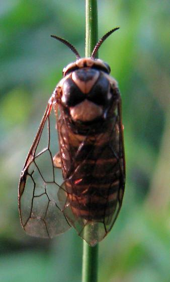 possible sawfly - Gilpinia hercyniae