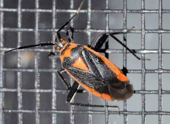Plant Bug - Taedia