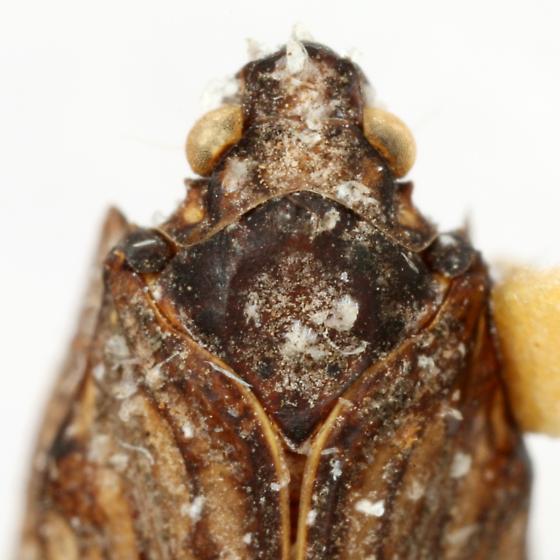 Metcracis fusca (Van Duzee) - Metcracis fusca