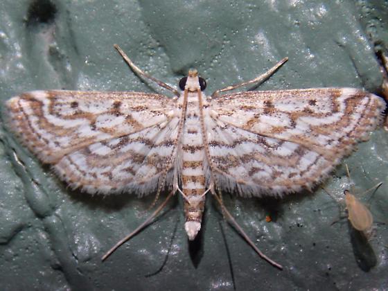 4764 Watermilfoil Leafcutter - Parapoynx allionealis