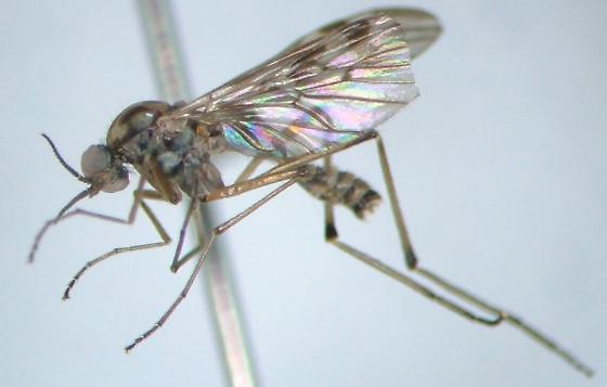 Sylvicola notialis - male