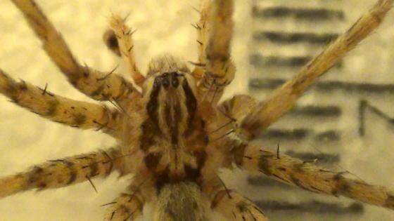 Prowling Spider - Syspira - male