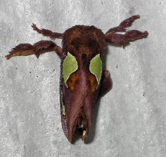 Nanina Oak-Slug Moth  - Euclea nanina