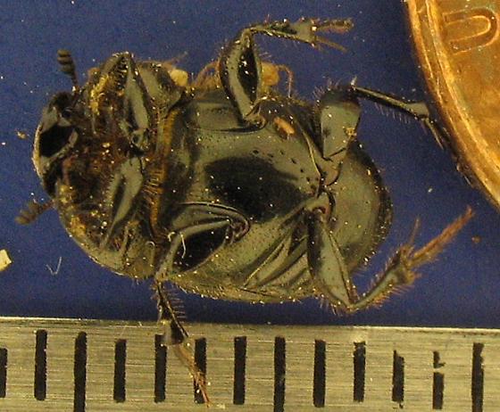 Onthophagus taurus - female