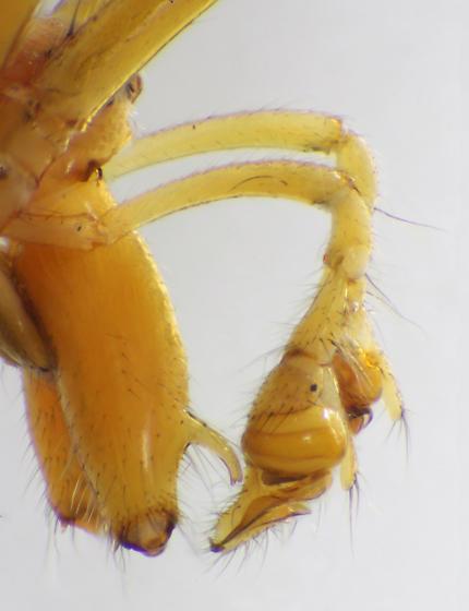 Lateral view of chelicerae and pedipalpae - Tetragnatha laboriosa - male