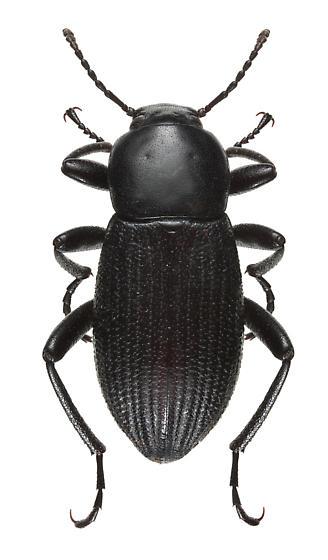 Tenebrionid sp. - Eleodes carbonaria