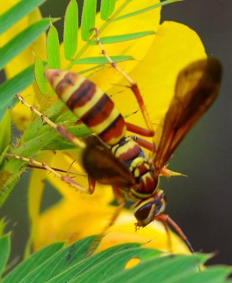 Poecilopompilus interruptus? brown and yellow spider wasp - Poecilopompilus interruptus