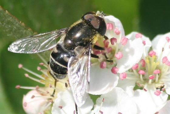 Fly on Aronia - Eristalis dimidiata