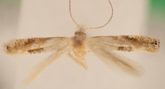 Bucculatrix packardella - male