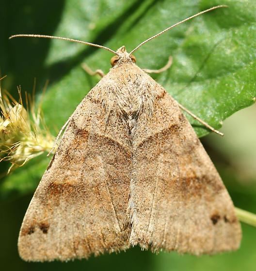 Clover looper or forage looper moth? - Caenurgina crassiuscula
